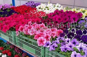 купить в Курске кустовую петунию Клумба46