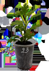 Укорененные черенки шаровидной хризантемы Мультифлора в стаканчиках почтой