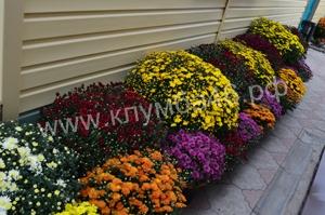 Цветущие шары хризантем