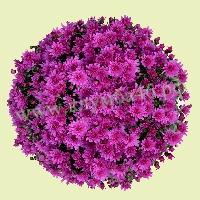 Укорененные черенки шаровидных хризантем