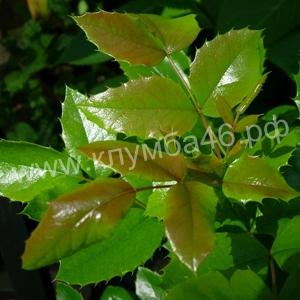 Магония падуболистная листва