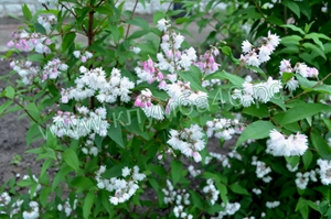 Дейция цветущий кустарник